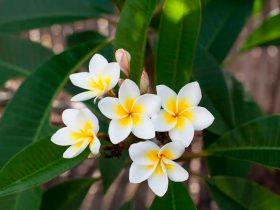 La Leyenda de la Flor de Mayo
