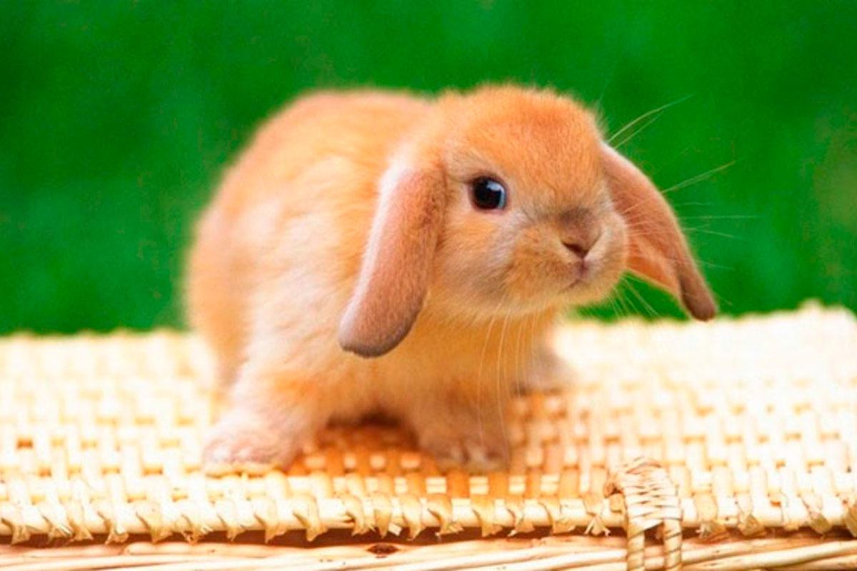 ¿Por qué los conejos tienen las orejas largas?